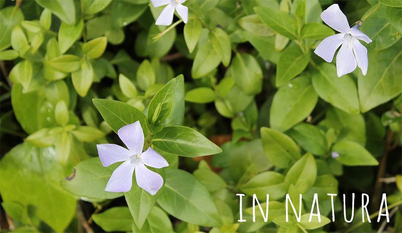 vinca major - violeta
