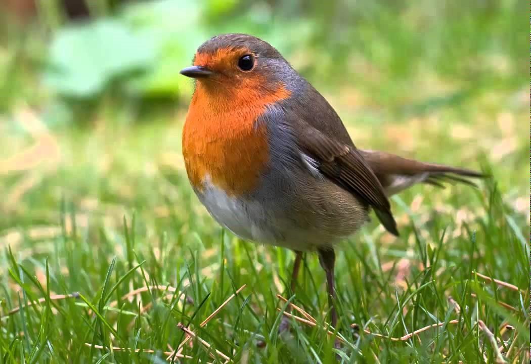 petirrojo - ornitología desde casa